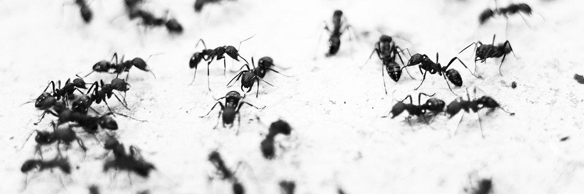 Myrer på papir med lokkestof